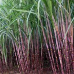 sugarcane 5